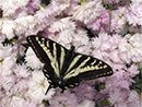 Butterfly Gardening: New Mexico