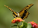 Butterfly Gardening: Colorado