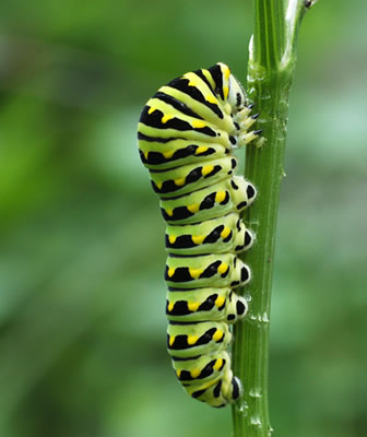 Black Swallowtail Butterfly Caterpillar