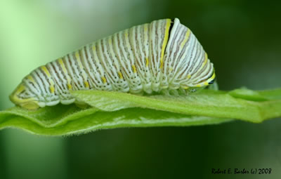 Zebra Swallowtail Butterfly Caterpillar