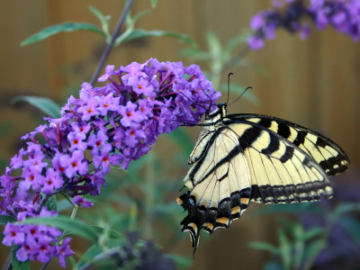 Butterfly Bush and Other Flowers for Your Butterfly Garden!