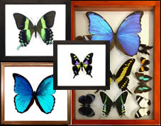 Get Specimens to Make Real Framed Butterfly Displays & Artwork