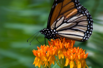 Butterfly Weed and Other Flowers for Your Butterfly Garden!