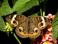 How to create a butterfly garden, rear butterflies and make a butterfly house with our free butterfly house plan.