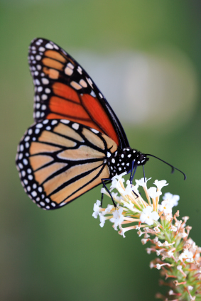Article on how to care for your live release butterflies when they arrive up till your event.