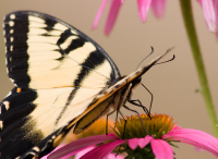 Butterfly Behavior To Watch in the Garden
