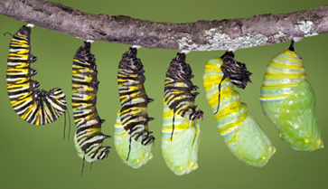 http://cdn-0.thebutterflysite.com/images/caterpillar-emerging.jpg