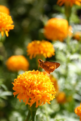 Marigold and Other Flowers for Your Butterfly Garden!