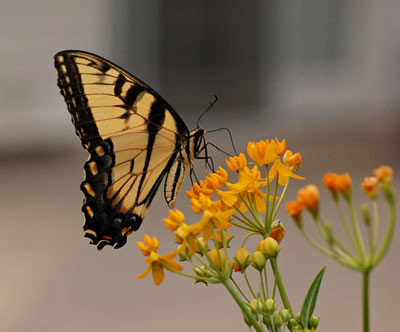 Milkweed and Other Flowers for Your Butterfly Garden!