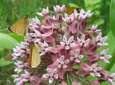 Skipper Butterflies visiting a Milkweed Plant. Courtesy Ellen Lucy