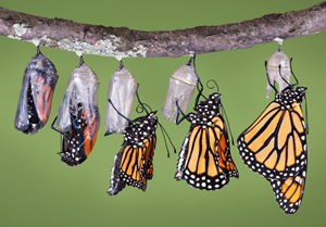 http://cdn-4.thebutterflysite.com/images/monarch-emerging.jpg