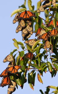Monarchs are not the only butterflies that migrate. Find out more about butterfly migration here.