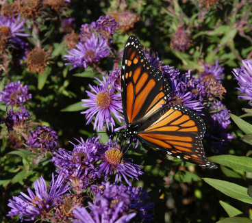 New England Aster and Other Flowers for Your Butterfly Garden!