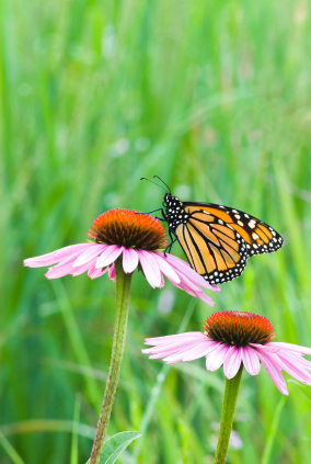 Purple Coneflowers and Other Flowers for Your Butterfly Garden!