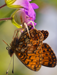 This informative article with pictures talks all about what eats butterflies. A butterfly's life is interesting and sometimes short!