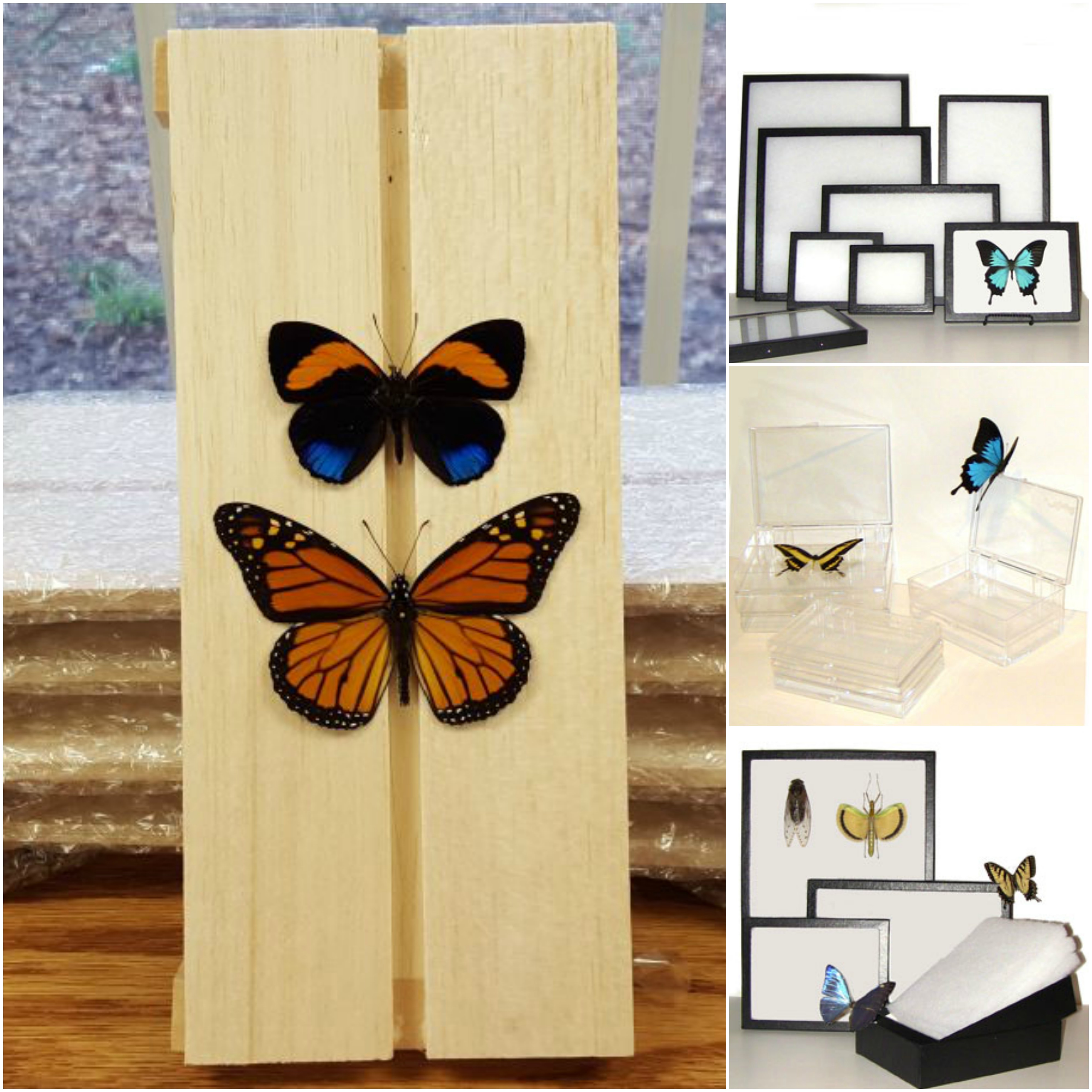 Butterfly Specimens, Insect Displays and Supplies for Insect Collectors